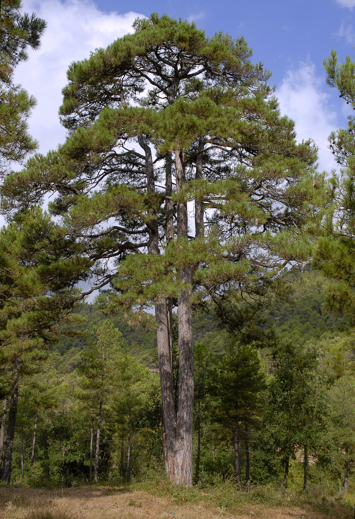 Pinus nigra subsp. salzmannii - Wikispecies