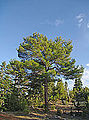 Pines in Mersin 02.jpg