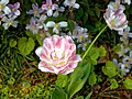 Pink and white tulip at Myddelton House, Enfield, London 02.jpg