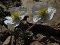 Pink buttercup, Beckwithia andersonii (=Ranunculus andersonii) (29899726267).jpg