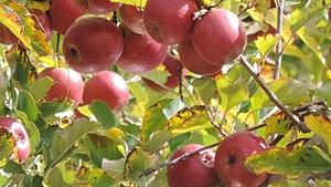 Granite Belt - Pink lady apples, Thulimba, 2015