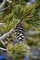 Pinus flexilis Nederland CO.jpg
