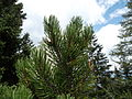 Pinus mugoSAM 0353 02.jpg