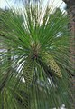 Pinus palustris USDA1.jpg