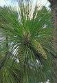 Pinus palustris USDA1.jpg