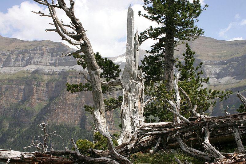File:Pinus uncinata Ordesa.jpg