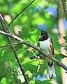 Pipilo erythrophthalmus -Howard County, Maryland, USA -male-8 (1).jpg