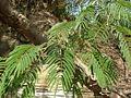 Piptadenia gonoacantha.JPG