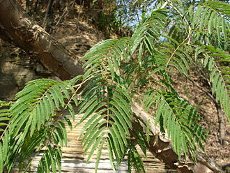 Piptadenia - Piptadenia gonoacantha in Brazil