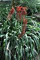 Pitcairnia spicata.jpg