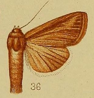 <i>Aletia</i> genus of insects