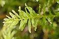 Plagiomnium.undulatum.jpg