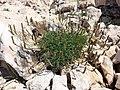 Plantago subulata sl1.jpg
