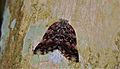 Planthopper (Ricaniidae) (8725593689).jpg