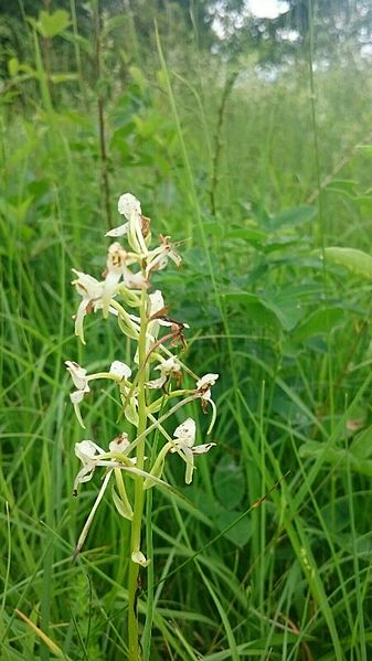Platanthera chlorantha (Orchidaceae) (Greater Butterfly-orchid), Thillot, France