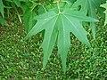 Platanus orientalis foliage Partenit.jpg
