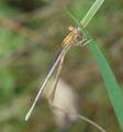 Platycnemis pennipes Libelle.png