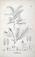 Platypodium elegans florabrasiliensis.png