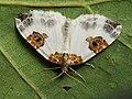 Plemyria rubiginata - Blue-bordered carpet - Ларенция двухцветная (40064134545).jpg