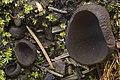Plicaria endocarpoides (Berk.) Rifai 1025184.jpg