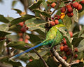 Plum-headed Parakeet (Psittacula cyanocephala) feeding on Ficus benghalensis W IMG 4321.jpg