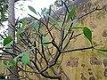 Plumeria rubra (Puerto de La Cruz).jpg