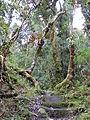 Podocarpus Ecuador211.JPG