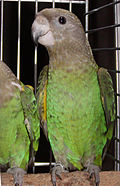 Poicephalus cryptoxanthus -caged.jpg