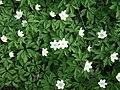 Poland. Flowers 008.JPG