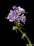 Polemonium caeruleum20170605 8001.jpg