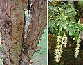 Polylepis pauta - Flickr - Dick Culbert.jpg