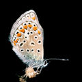 Polyommatus.icarus.female.3449.jpg