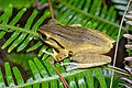 Polypedates megacephalus, Spot-legged tree frog - Phu Kradueng National Park (42854248261).jpg