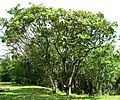 Polyscias hawaiensis (5209552019).jpg
