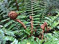 Polystichum vestitum Governors Bush Walk Mount Cook 6.JPG