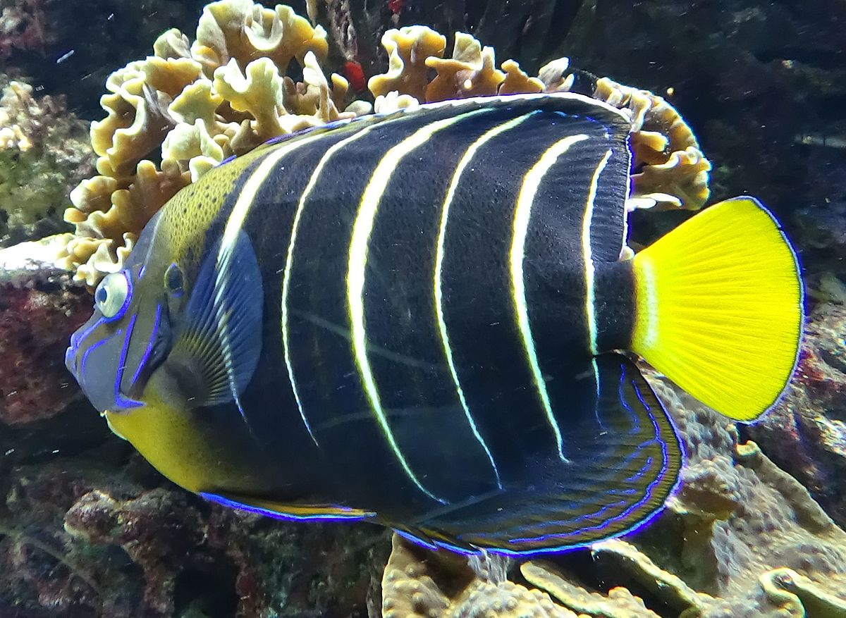 Goldtail Angelfish - Wikipedia-3118
