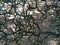 "Poncirus trifoliata ""Flying dragon"" stems and thorns.jpg"