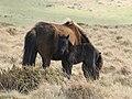 Ponies on Weatherdon Hill - geograph.org.uk - 1274269.jpg