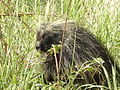 Porcupine With the Munchies.jpg