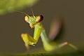 Portrait of Praying mantis.jpg