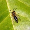 Possibly Andrena fulva male ? (43663612542).jpg