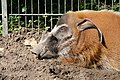 Potamochoerus porcus (6337867792).jpg