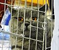 Poznan Cat Show, Arena, 2014r (British shorthair).JPG