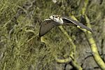 Prairie Falcon in flight.jpg