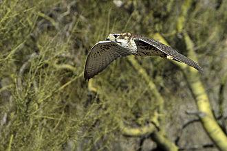 Prairie falcon - A prairie falcon in Arizona