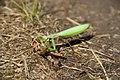 Praying Mantis Eating a Grasshopper.jpg