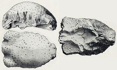 Prenocephale brevis.jpg