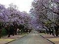 Pretoria viale della Jacaranda.jpg