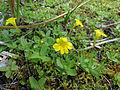 Primrose Monkeyflower (15211130697).jpg