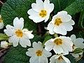 Primula vulgaris-2.JPG